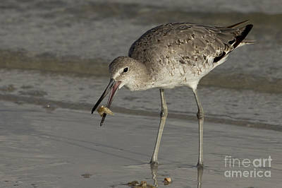 Photograph - Willet With Breakfast by Meg Rousher