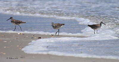 Willets On Ocracoke Art Print