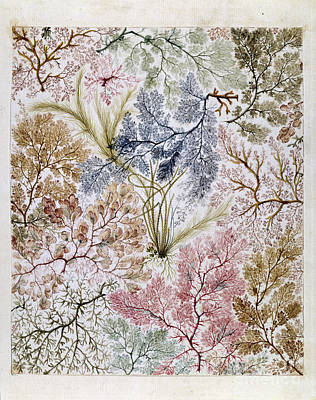 Seaweed Painting - William Kilburs Seaweed Fabric Design by Celestial Images
