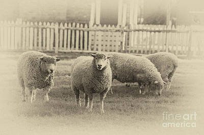 Photograph - Williamsburg Sheep by Terry Rowe
