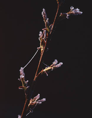 Photograph - Willow And Spider by Tom Daniel
