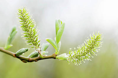 Willow Catkins (salix Sp.) Art Print by Gustoimages/science Photo Library