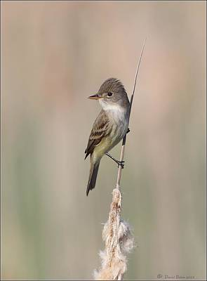 Photograph - Willow Flycatcher by Daniel Behm