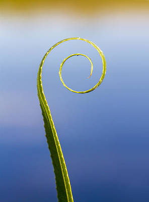 Photograph - Willow Leaf Spiral by Steven Schwartzman