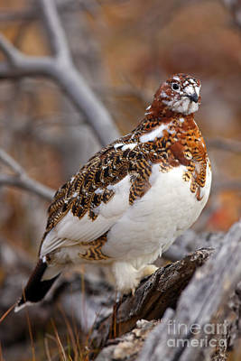 Willow Ptarmigan Art Print