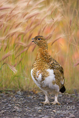 Photograph - Willow Ptarmigan Yukon by Yva Momatiuk John Eastcott