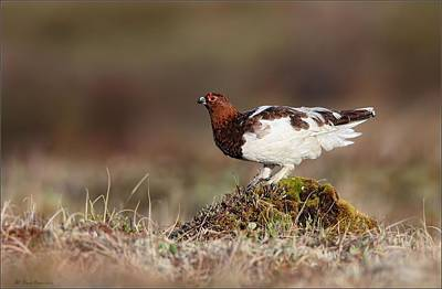 Photograph - Willow Ptarmigan In Evening Light by Daniel Behm