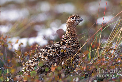Willows In Fall Photograph - Willow Ptarmigan by Ron Sanford