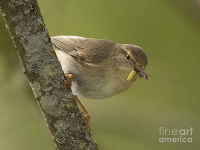 Bird Photograph - Willow Warbler Female by Liz Leyden