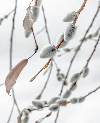 Pussy Willow Photograph - Willows In Snow by Aaron Aldrich
