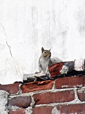 Photograph - Wilmington - 1549 - Urban Squirrel by Sandy Tolman