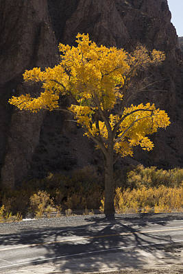 Photograph - Wilson Canyon Cottonwood by Jim Snyder