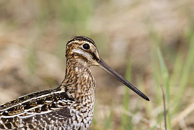 Photograph - Wilson Snipe by Doug Lloyd