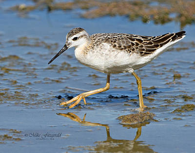 Photograph - Wilsons Phalarope by Mike Fitzgerald