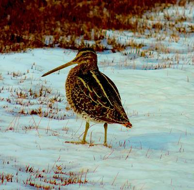 Wilson's Snipe 1 Art Print by Stephanie Kendall