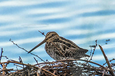 Photograph - Wilson's Snipe by J Michael Runyon