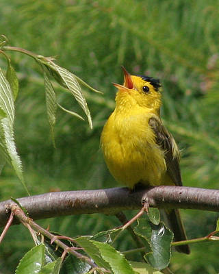 Photograph - Wilson's Warbler by John Bushnell