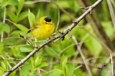 Photograph - Wilsons Warbler by Larry Ricker