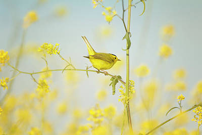 Photograph - Wilsons Warbler Perched In Wild Mustard by Susangaryphotography