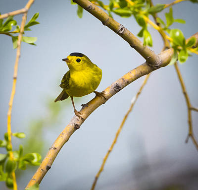 Photograph - Wilson's Warbler by Ricky L Jones