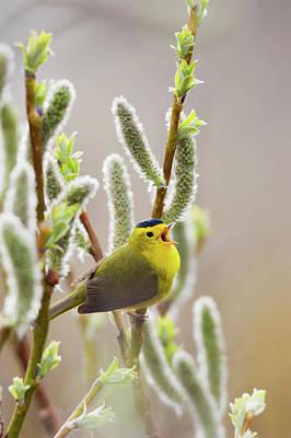Warbler Photograph - Wilson's Warbler Singing by Ken Archer