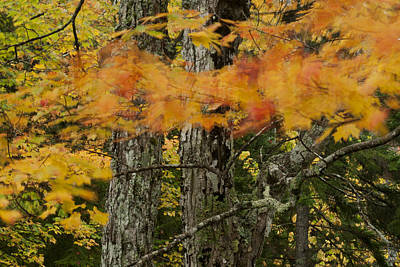 Photograph - Wind Blown Maple Acadia Img 6419 by Greg Kluempers