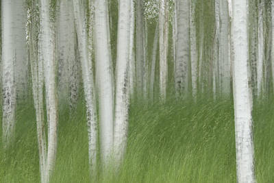 Forerst Photograph - Wind In The Aspen by Nancy Myer
