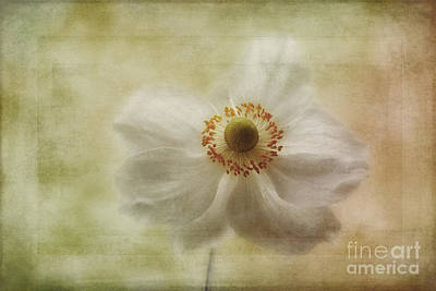 Windflower Photograph - Windblown by John Edwards
