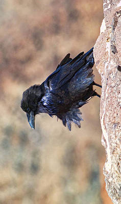 Photograph - Windblown Raven - Phone Case Design by Gregory Scott