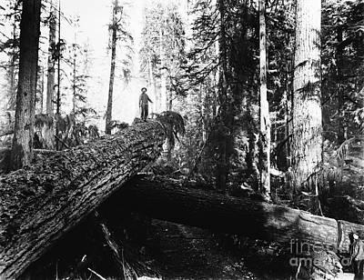 Photograph - Windfall For Loggers 1908 by Joe Jeffers