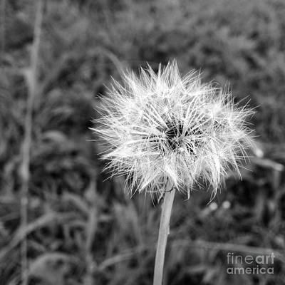 Flower Photograph - Dandelion by Fernanda Travensolli