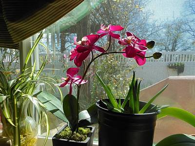 Photograph - Window Orchid by John Norman Stewart