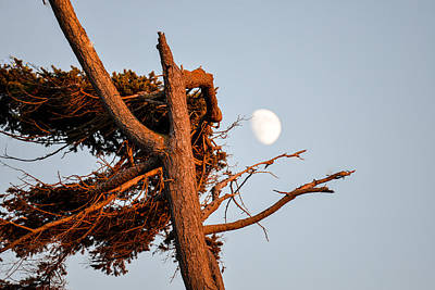 Photograph - Windswept Tree And The Moon by Ronda Broatch