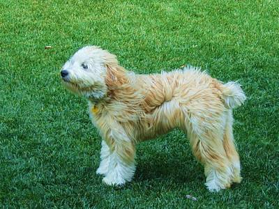 Soft Coated Wheaten Terrier Photograph - Windy Dog by Vijay Sharon Govender