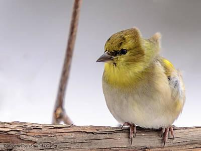 North America Photograph - Windy Golden Finch by LeeAnn McLaneGoetz McLaneGoetzStudioLLCcom