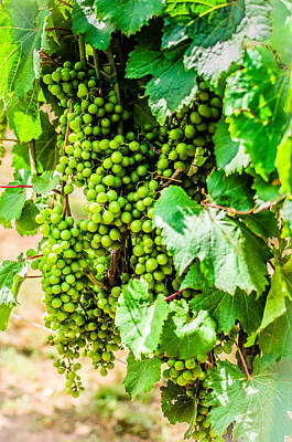 Photograph - Wine Grapes by David Morefield