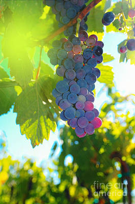 Wine Grapes  Art Print by Jeff Swan