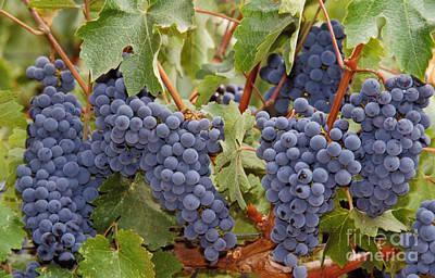 Wine Grapes, Napa Valley Print by Ron Sanford