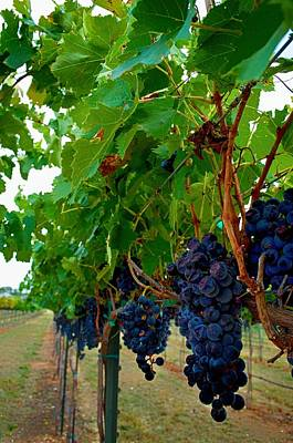 Photograph - Wine Grapes On The Vine by Kristina Deane
