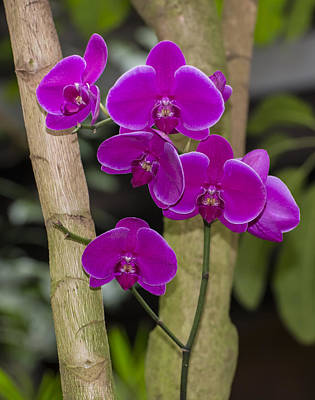 Photograph - Wine Orchids by Penny Lisowski