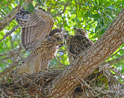 Red Shouldered Hawk Photograph - Wing Test by Deborah Benoit