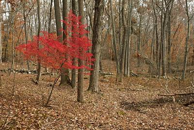 Burning Bush Photograph - Winged Spindle Tree In Woodland by Science Photo Library