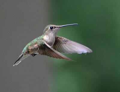 Photograph - Winging It by Amy Porter