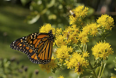 Wings - Monarch On Goldenrod Art Print