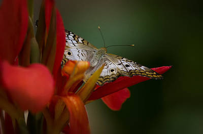 White Peacock Photograph - Wings Of A Butterfly  by Saija  Lehtonen