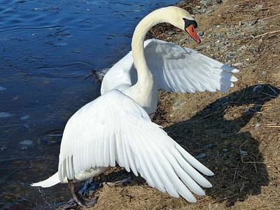 Photograph - Wings Of A Swan by Elaine Franklin
