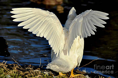 Photograph - Wings Of A White Duck by Kaye Menner