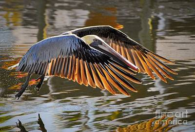 Pelican Wall Art - Photograph - Wings Of Gold by Quinn Sedam