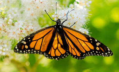 Monarch Photograph - Wings Of Hope by Nick Prosper