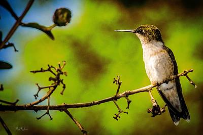 Photograph - Hummingbird - Perched - Wings Of Summer by Barry Jones